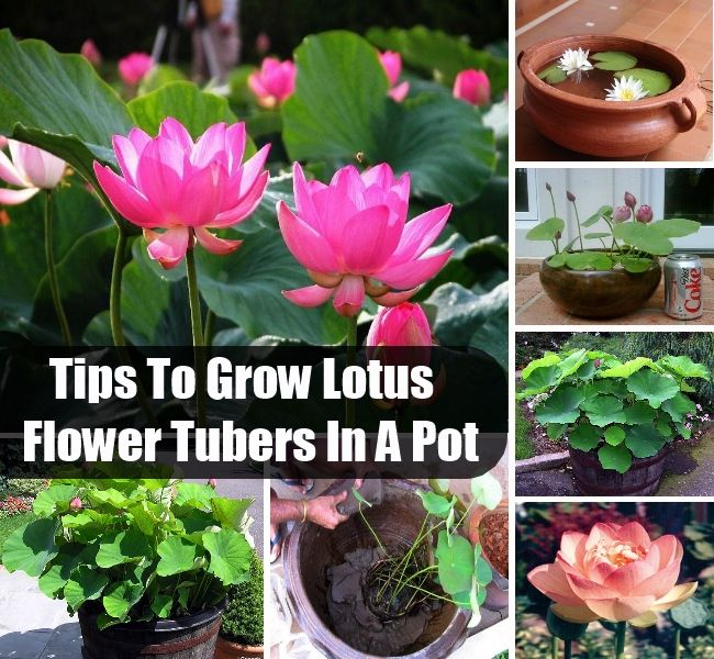 how to grow lotus plants in containers