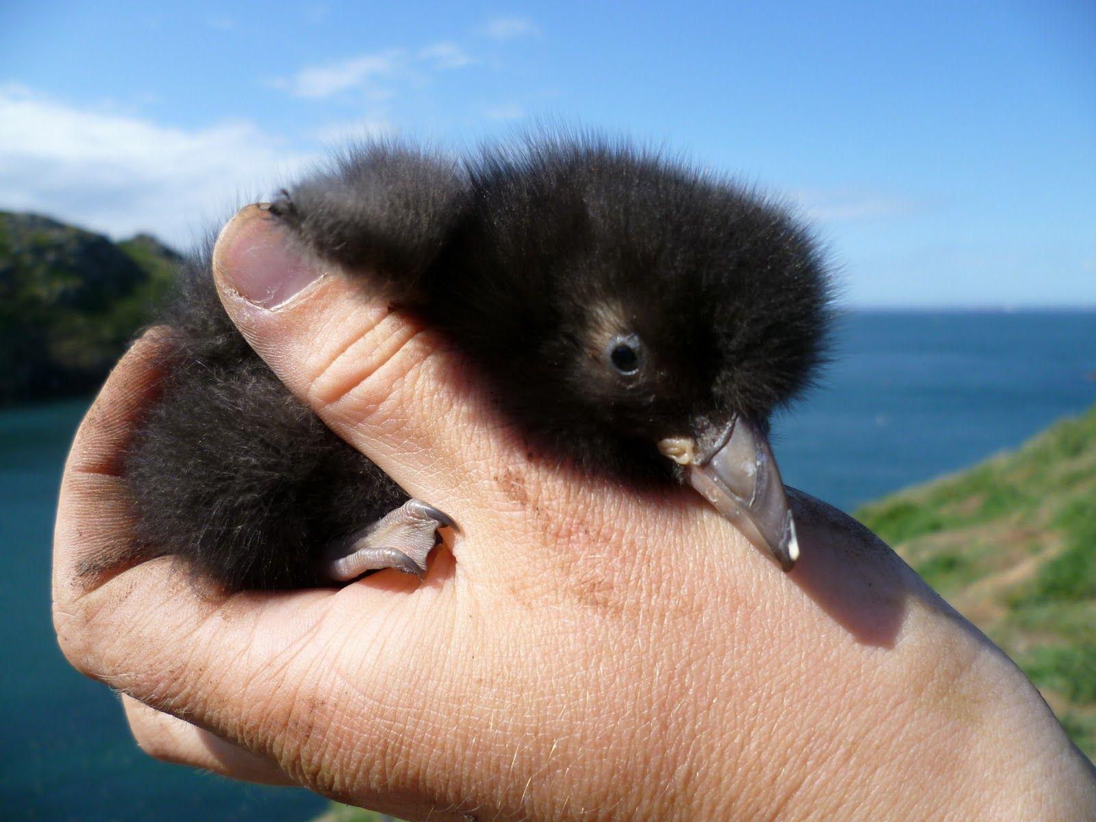 A Baby Puffin is called Puffling | Birds, Puffins bird