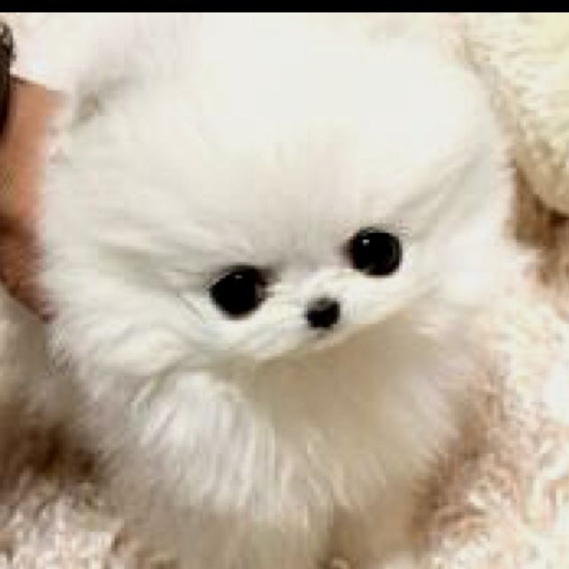 Adorable Micro Micro Teacup Pom First Choice Or A Jack