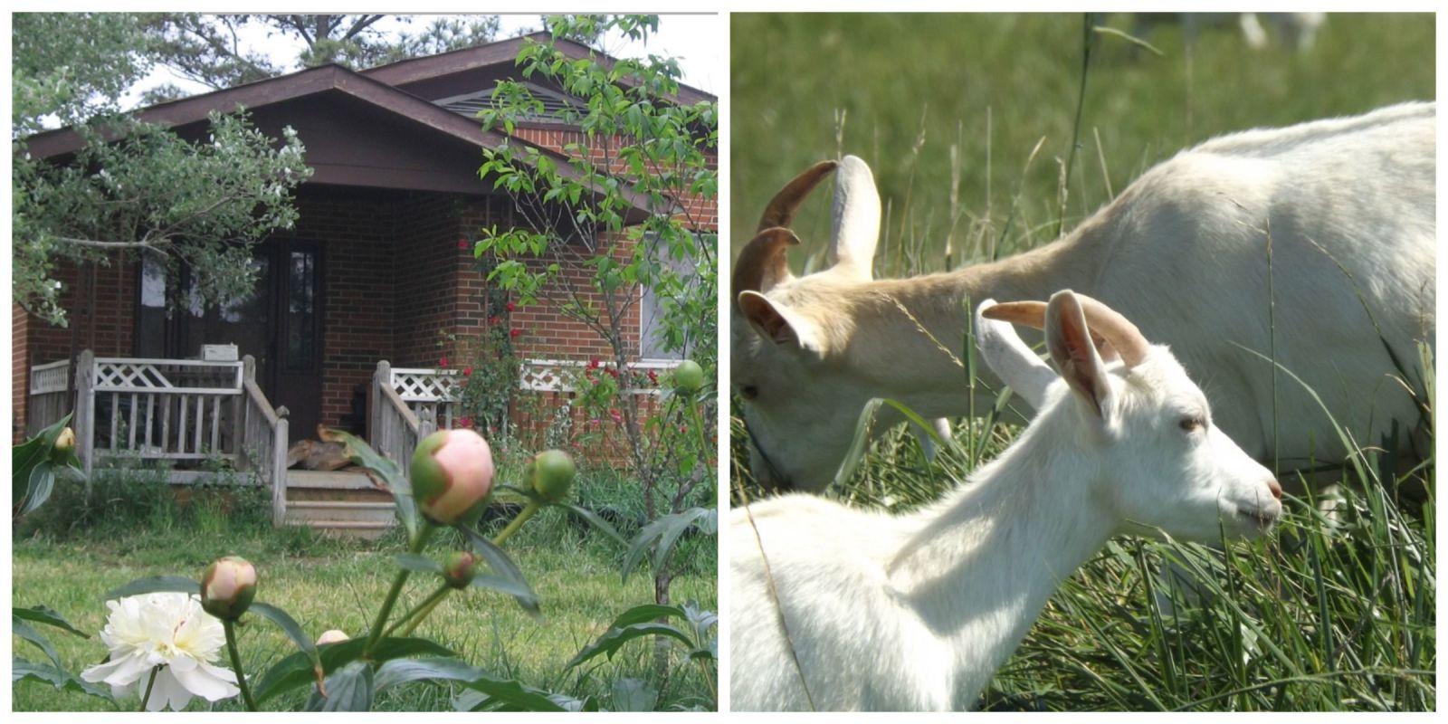 essay about goat