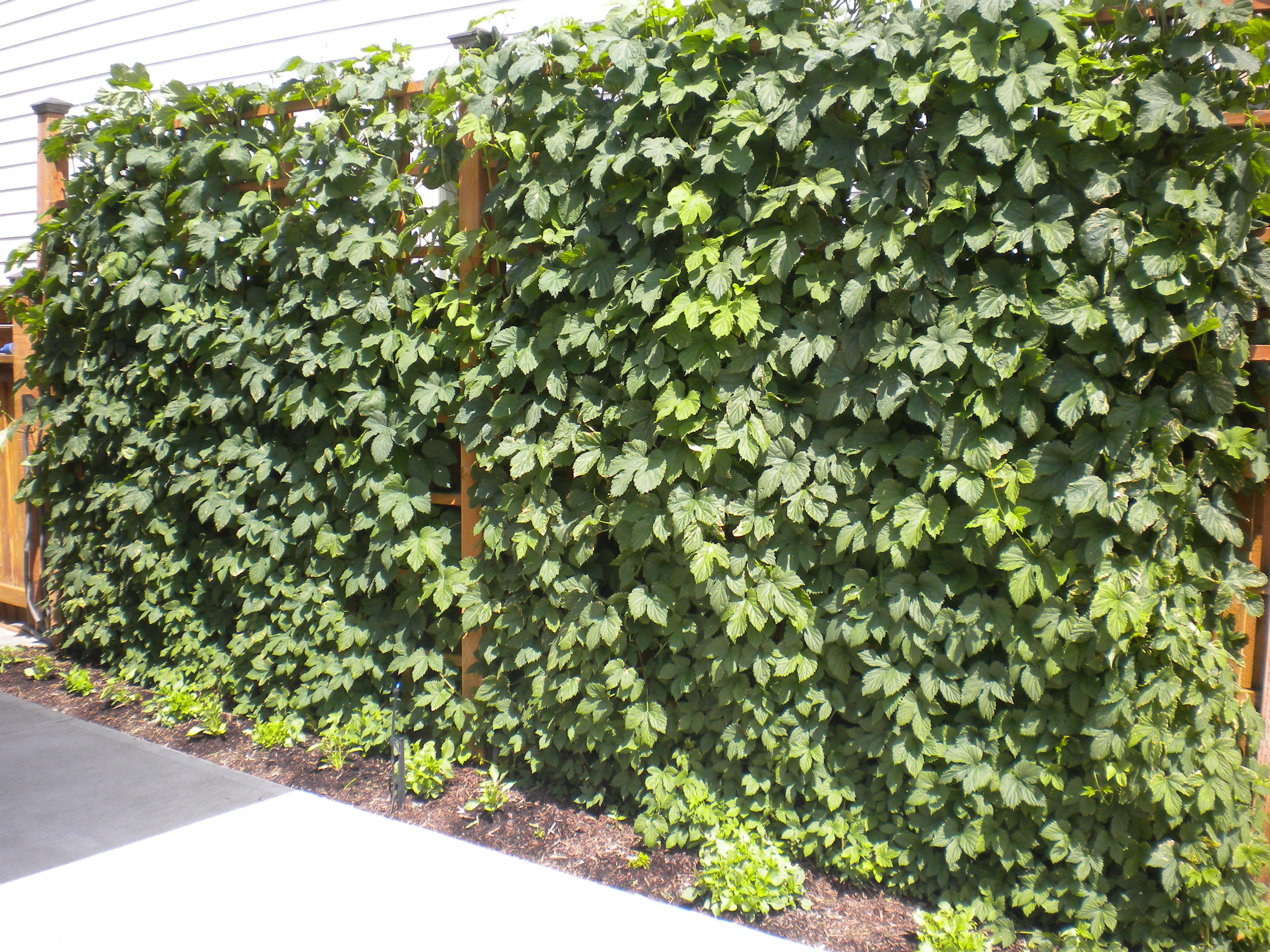 Hops growing on sideyard trellis views of my yard for Hops garden designs