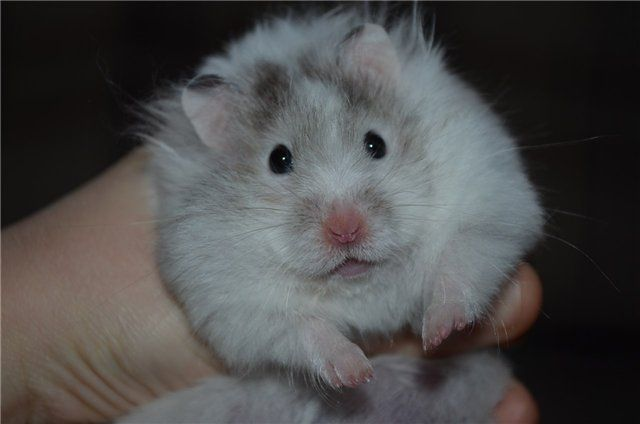 hamster poilu Big Dick pourpoint OFF
