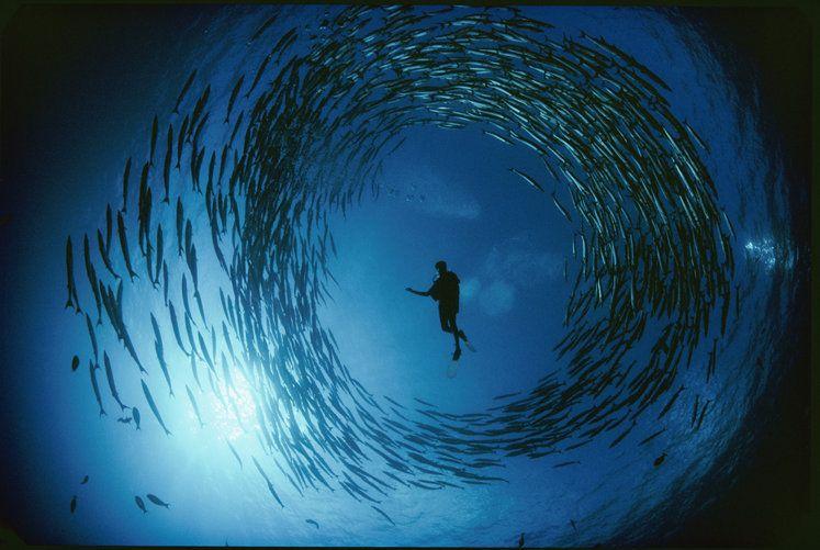 A school of barracuda surrounds a naturalist, Bismark Sea of New Hanover Island, Bismark Archipelago, Papua New Guinea, 1987. (David Doublie...