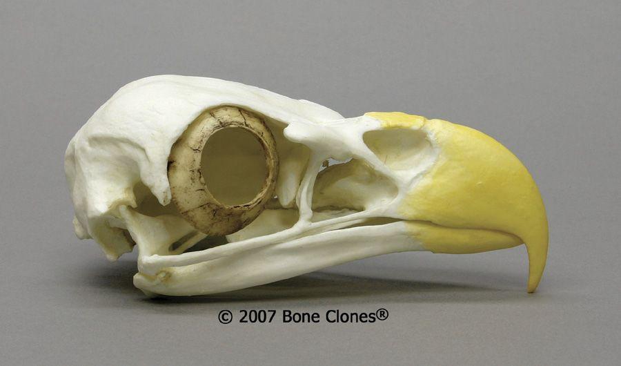 Skull Of Eagle Google Search Birds Pinterest Animal Skulls