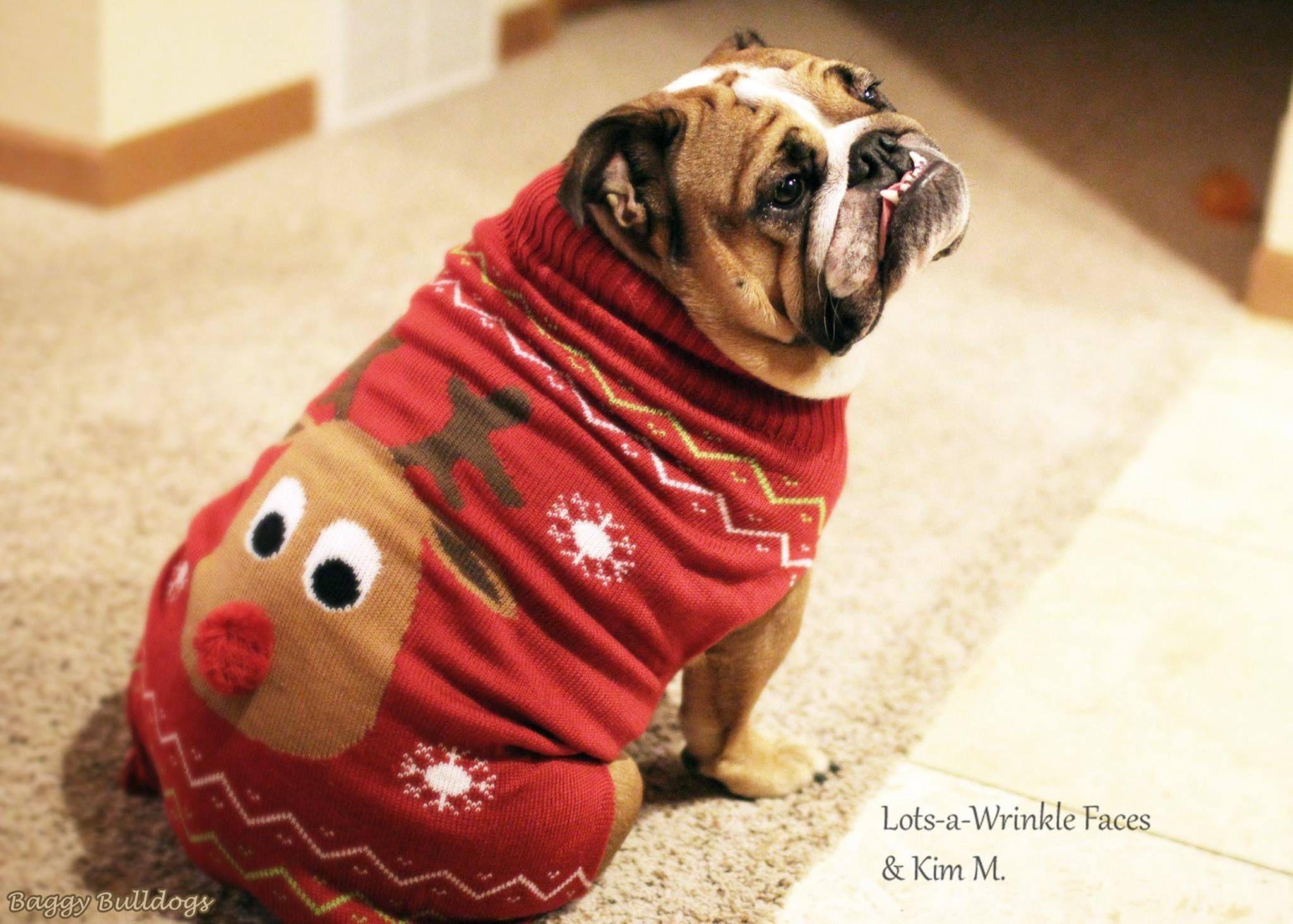 English Bulldog English Bulldog Bulldog Dog Christmas Clothes