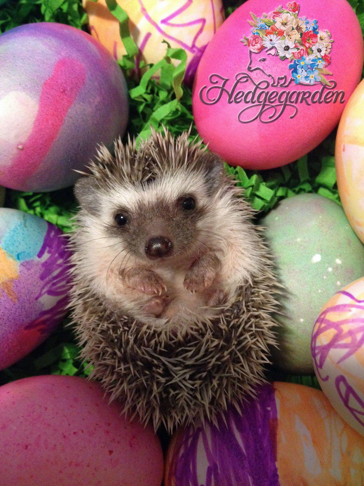 Happy Easter! #hedgehog #easter #basket #egg