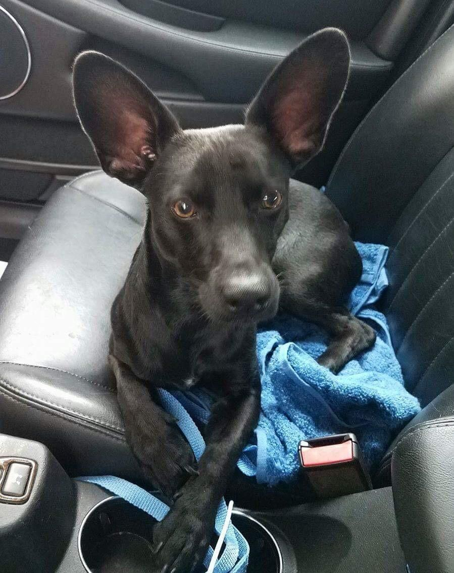 Adopt Zorro On Dogs Chihuahua Dogs Animals Pets
