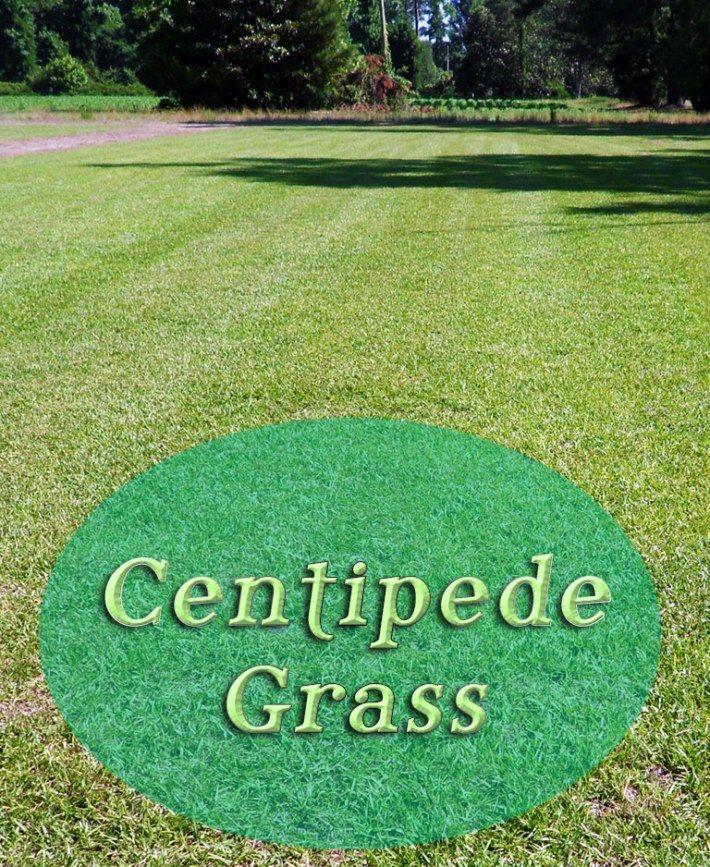 Centipede Grass Centipede grass, Grass care, Aerate lawn