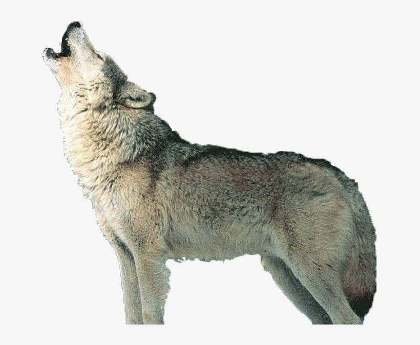 Png Wolf Howling Wolf Howling Grey Wolf Tattoo Wolf Silhouette