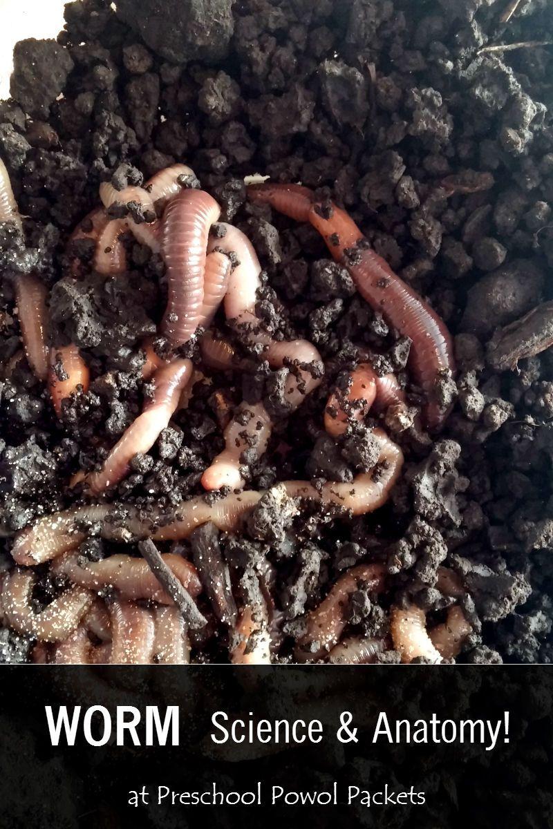Worm Anatomy Science for Preschoolers! | Pinterest | Anatomy ...