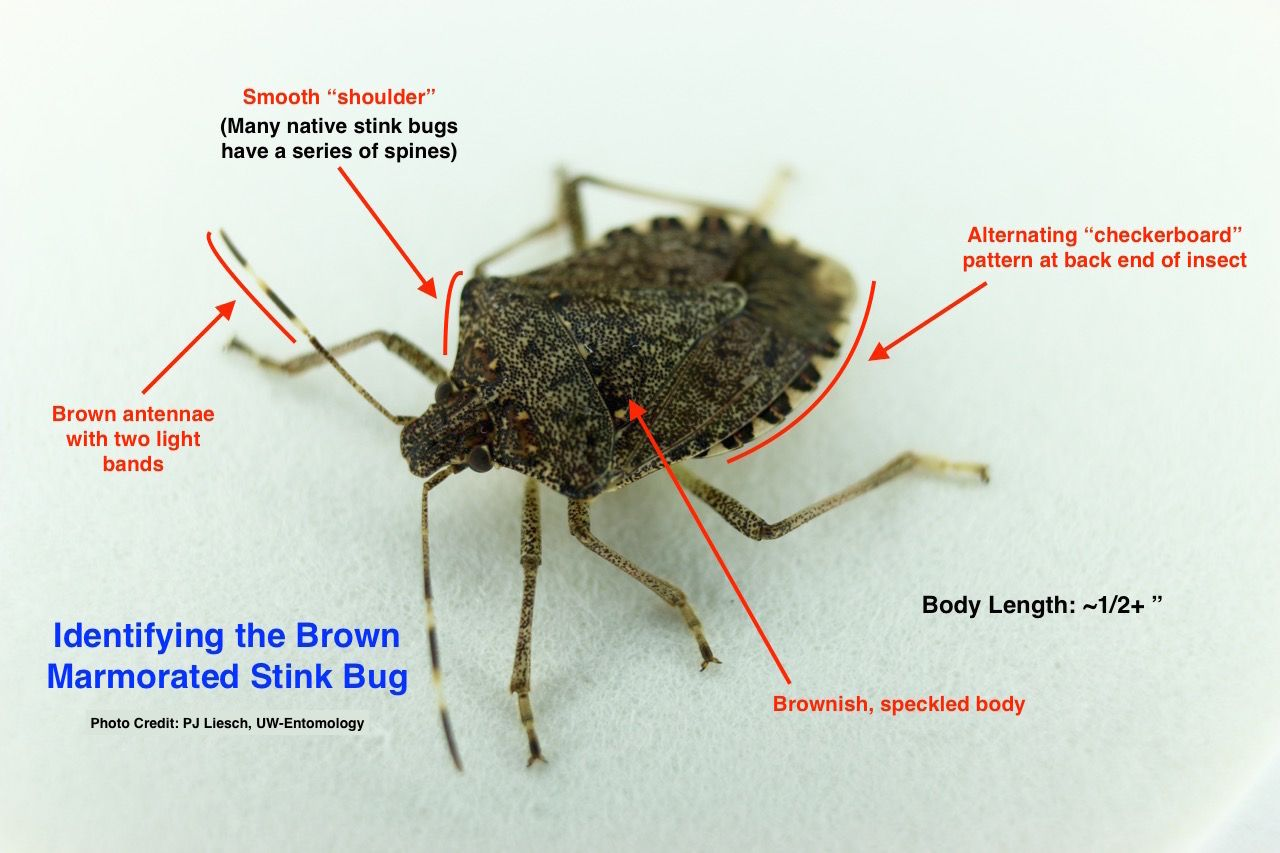 Anatomy Of The Stink Bug Characteristics Pinterest Bugs Stink