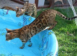Sunshine Bengals Toyger Cat Bengal Cat Bengal Cat Leopard