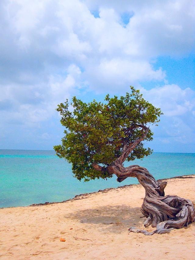 Divi divi tree aruba beauty of nature architecture pinterest palm beach aruba - Divi beach aruba ...