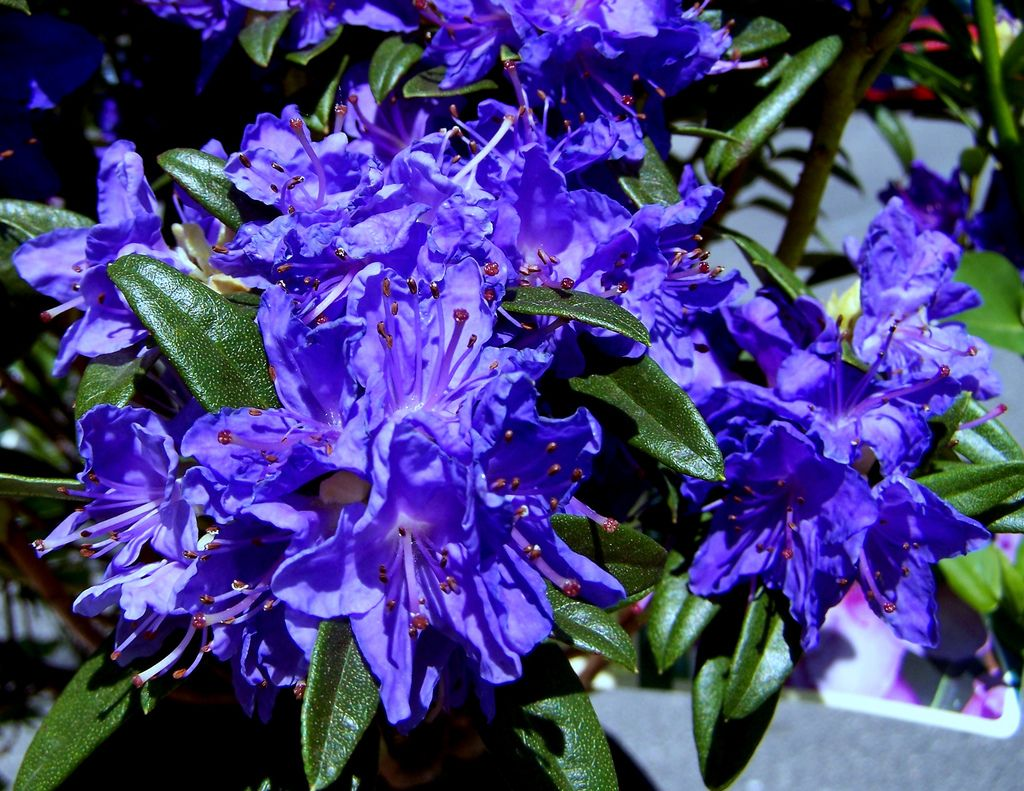 Love Blue Rhododendron Rhododendrons Are A Mid Size Flowering