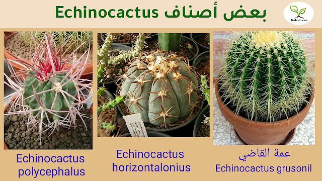نبات عمة القاضى أو كرسى الحماة Echinocachus Grusonil Succulents Plants Herbs