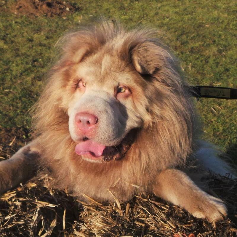 вариант картинки собак похожих на львов порой среди