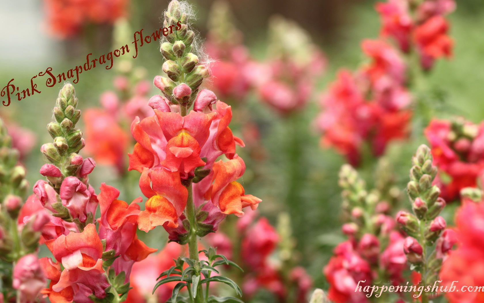 Snapdragon Flower Meaning Images growing Care Streaming