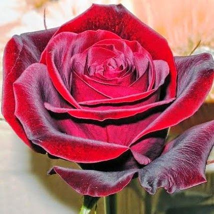 rosa aterciopelada | Flowers, Beautiful roses, Flower arrangements