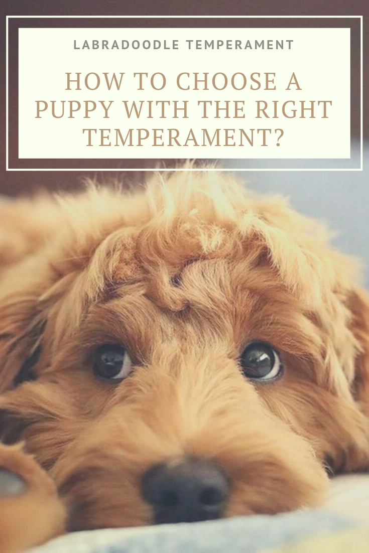 Labradoodle Temperament How To Choose The Right Temperament Labradoodle Temperament Australian Labradoodle Labradoodle Puppy