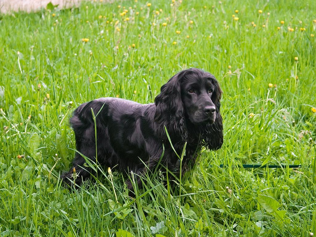 #wellpets The Cocker Spaniel Flowing Coat Is Extremely Handsome, He's  Loving And Gentle,