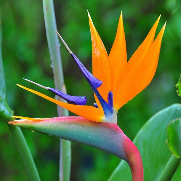 10pcs Strelitzia Reginae Aiton Seeds Garden Charming Plant Strelitzia Also Known As Bird Of Para Birds Of Paradise Flower Flower Seeds Birds Of Paradise Plant