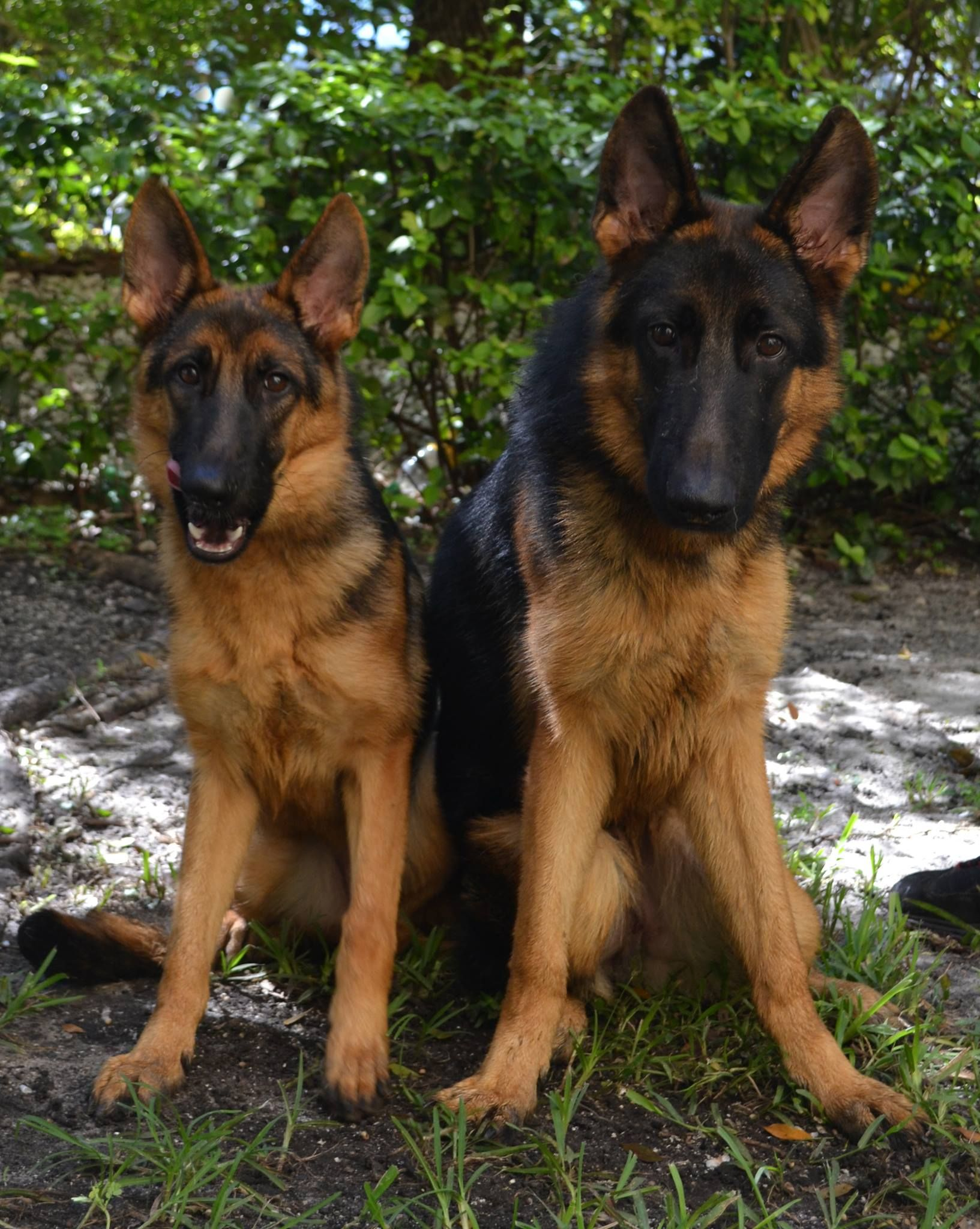 German Shepherd Refused To Leave Abandoned Mate Left Tied To A