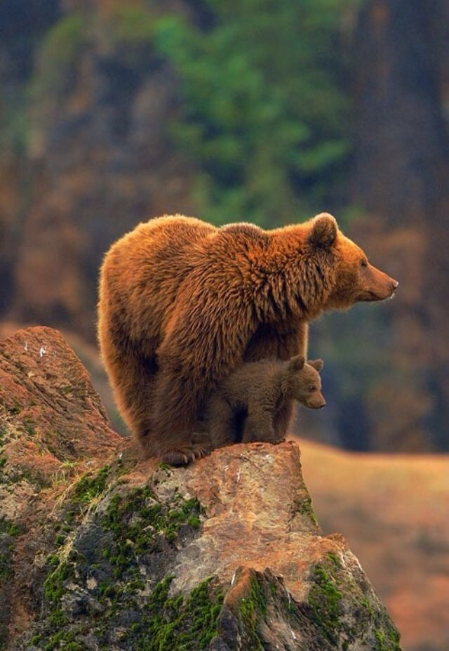 Mama bear protecting her baby! | Bears | Pinterest | Osos, Animales ...