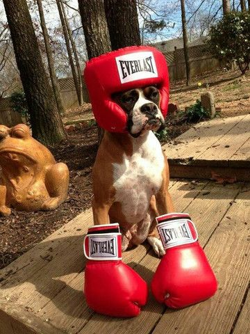 47 Cute Fun And Scary Halloween Costumes For Your Boxer Boxer