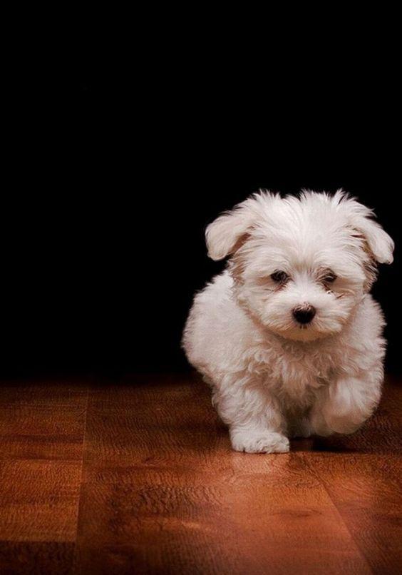 Maltese Pupp Maltese Puppy Puppies Cute Puppies Cute Animals