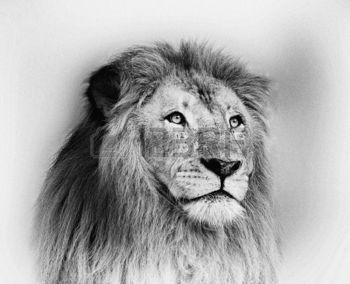 chat dessin noir et blanc saisissant portrait visage du lion banque d katzen pinterest. Black Bedroom Furniture Sets. Home Design Ideas