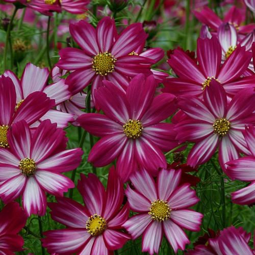 Cosimo Purple Red White Cosmos Annual Flowers Cosmos Flowers Flower Seeds