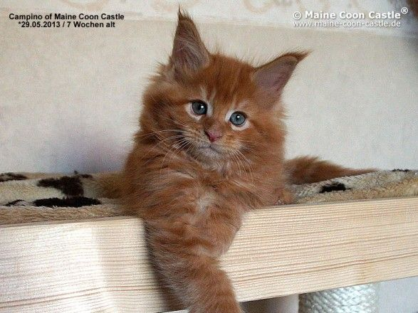 Campino of Maine Coon Castle 7 weeks old, 1215g