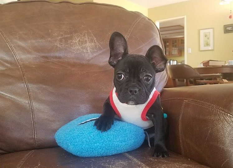 French Bulldog Puppy For Sale In Los Angeles Ca Adn 58352 On