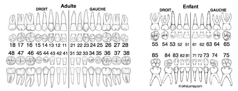 Odontogram, dental numbering FDI notation orthodontics