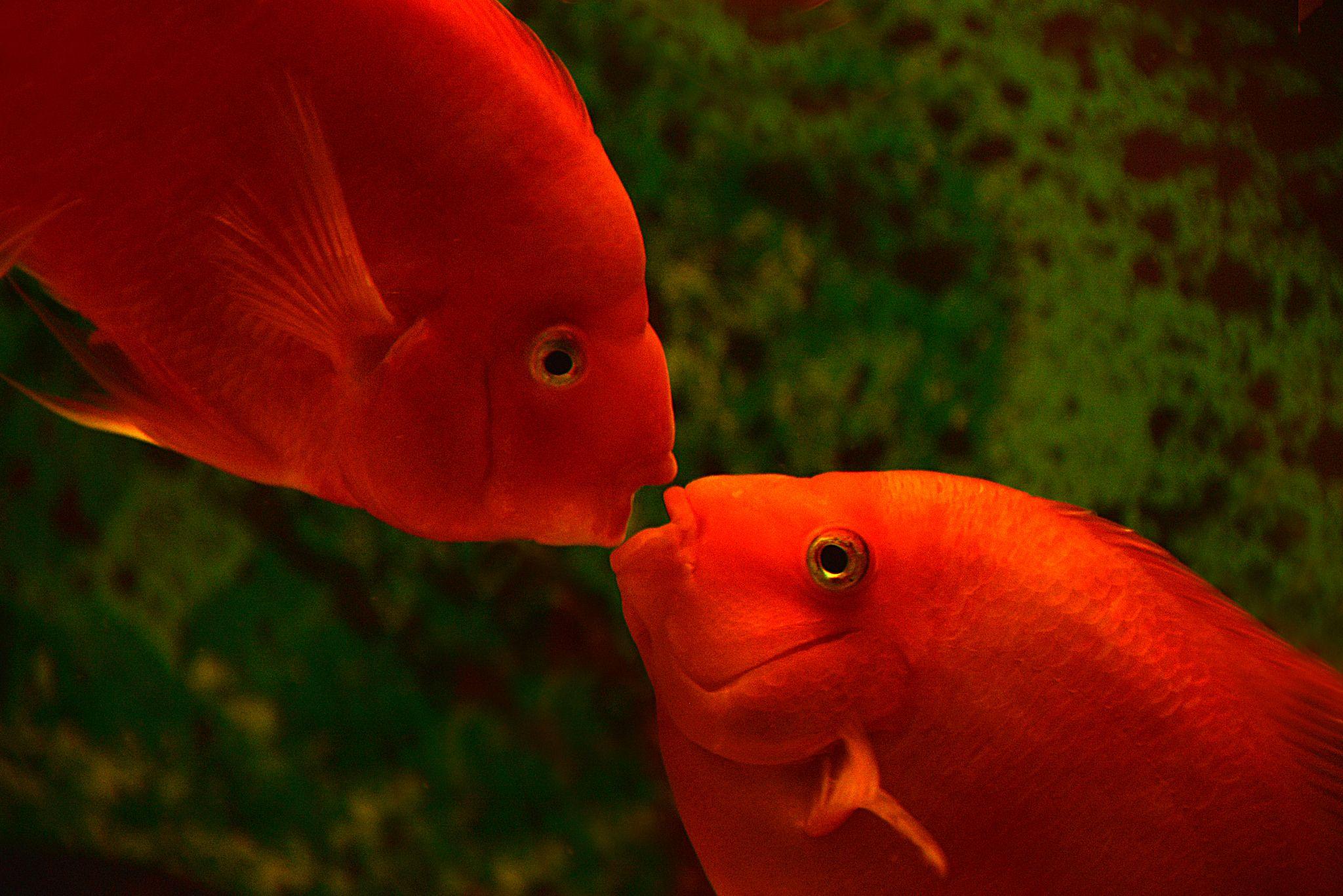 Sweet Kiss Parrot Fish Fish Pet Beautiful Fish