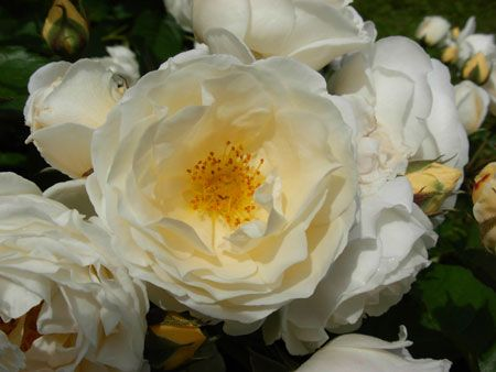 Promesse de roses:  Roses André Eve - Taxandria