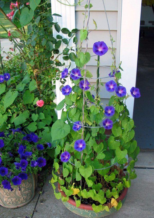 plantas de flor azul para cultivar en maceta | flores azules