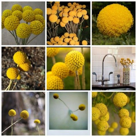 Billy Buttons Love These Billy Buttons Button Flowers Thistle Flower