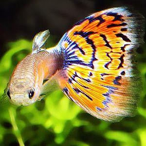 Cool Looking Fish Fish Tanks Guppy Fish Aquarium Fish Tropical Fish Tanks