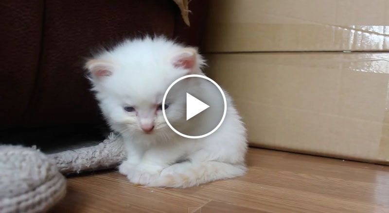 This Tiny Little White Fluffy Kitten Just Cannot Stay