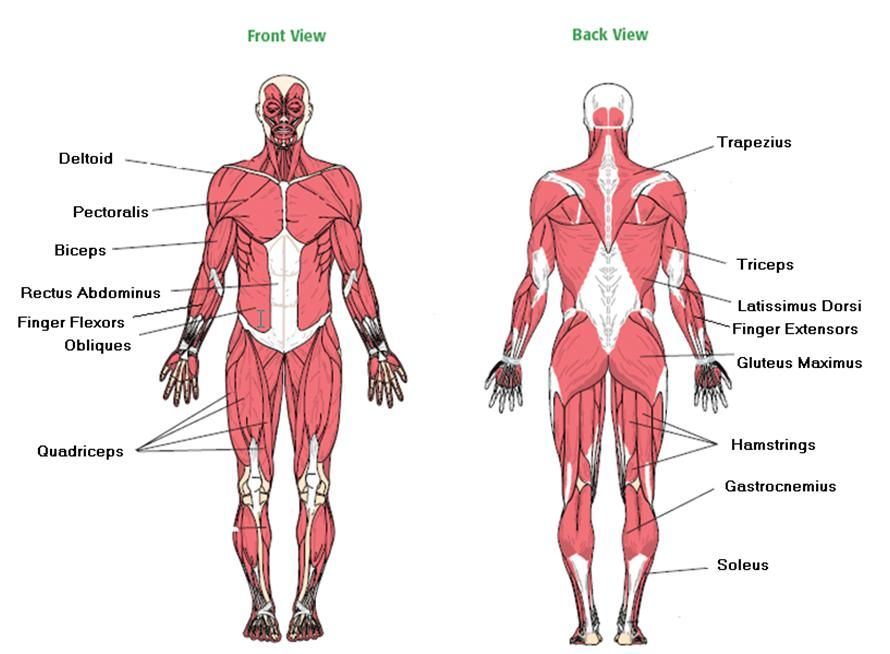 Image result for major muscles of the body worksheet | Emergency ...