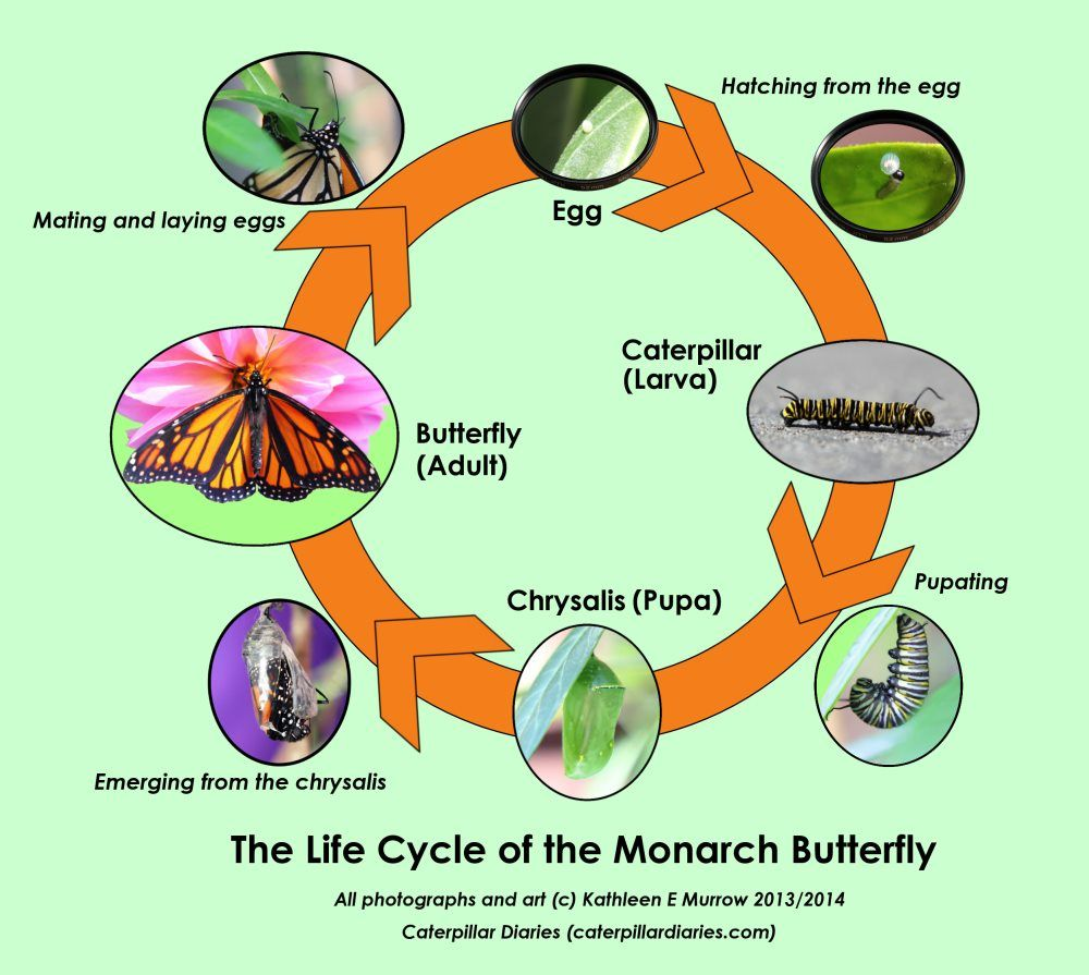 Monarch Life Cycle Timeline - Google Search