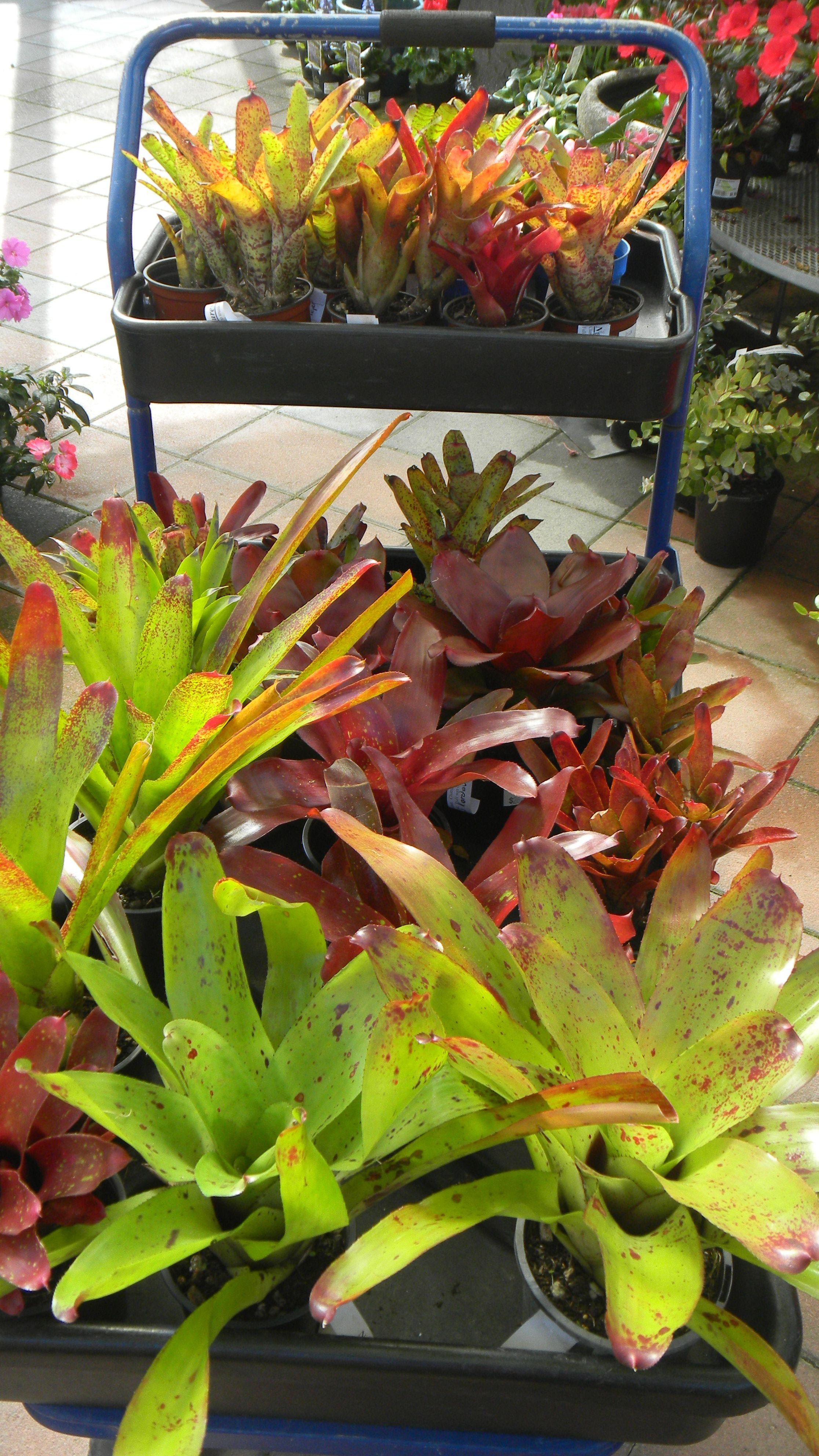 Bromeliads Garden center, Plants, Flowers