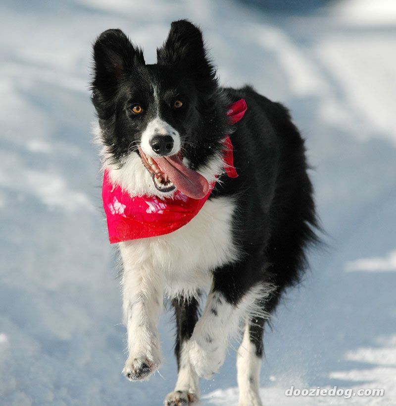 Border Border collie, Collie, World cutest dog