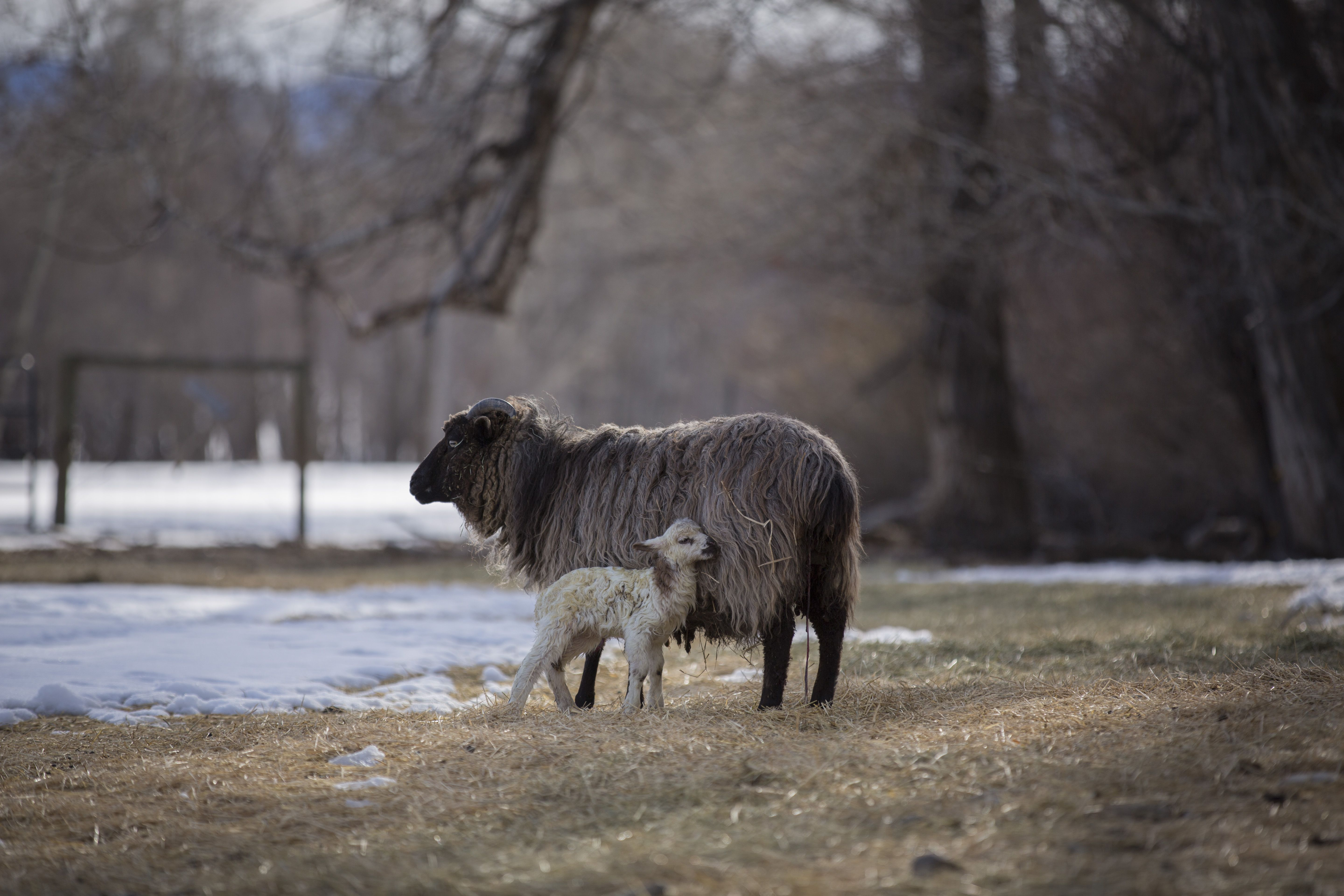 Montana's Spring Lambs - Just minutes old, a newborn lamb rests up against its mother. Credit: Catherine Yrisarri   © The Weather Channel