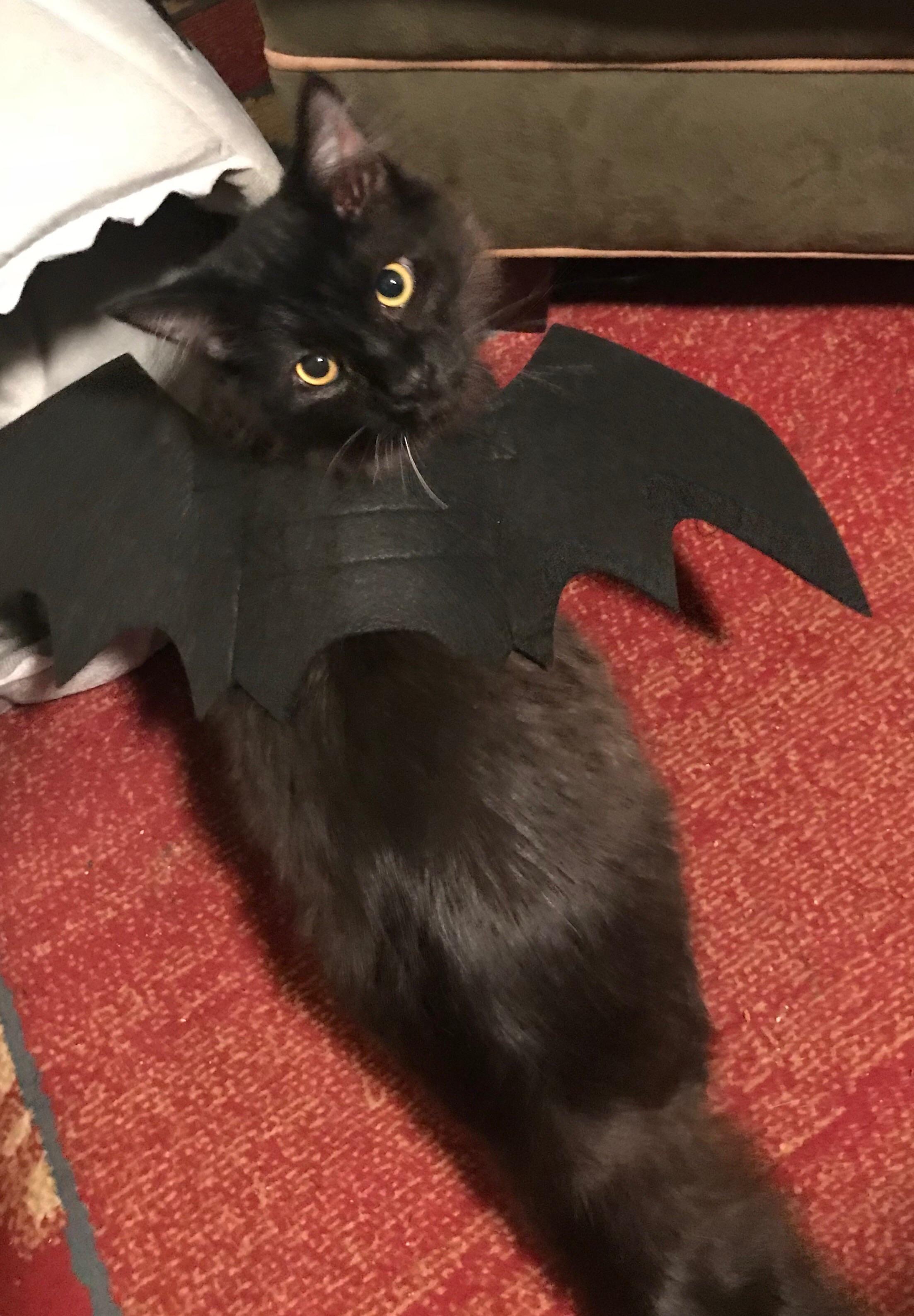 Krueger Loved His Bat Wings Cat Fleas Cats