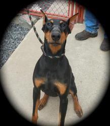 Adopt Xena On Doberman Pinscher Dog Doberman Doberman Pinscher