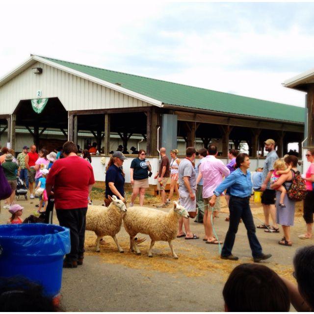 Sheep on parade, Maryland Sheep and Wool Festival.