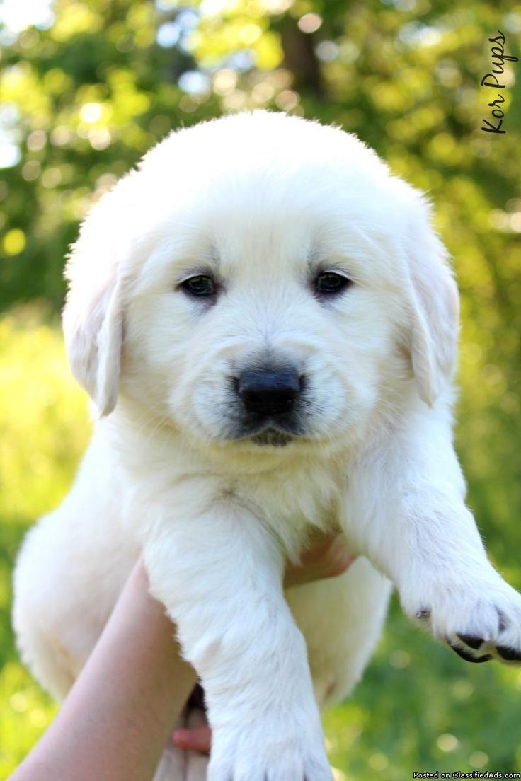 Akc English Cream Golden Retriver Puppy Adorable Dog Pictures
