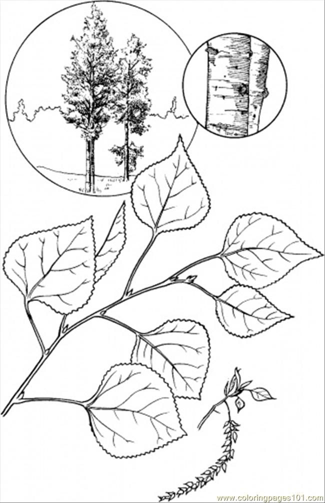 Aspen Tree Coloring Page Nature